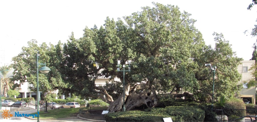 Sycamore in Netanya